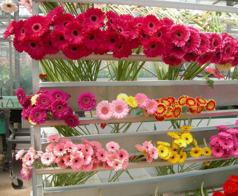 Garvinia Sweet is a Gerbera with staying power